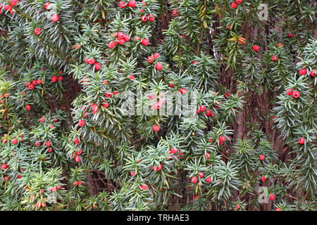 a mass of yew tree berries growing on a tree - Stock Photo