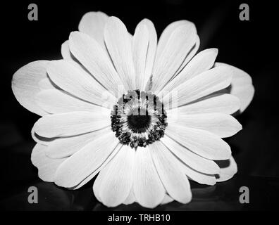 Anemone Nemorosa flower, white flower against a black background with the photo taken directly from above and with a macro lens in monochrome - Stock Photo