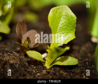 Tiny green edible lettuce seedling grows in compost - Stock Photo