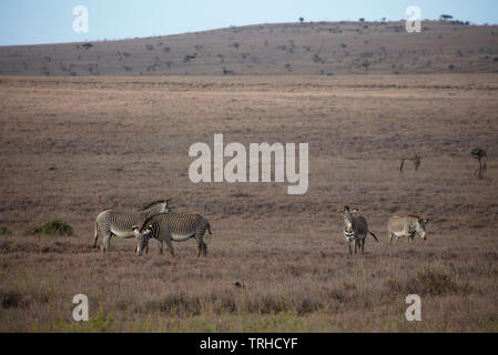 Grevy's Zebra, grazing, Lewa Game Sanctuary, Kenya, E. Africa, by Dembinsky Photo Associates - Stock Photo