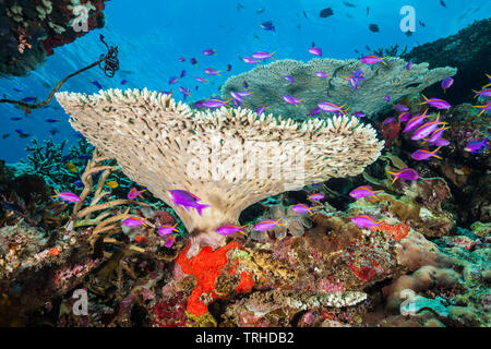 Yellowback Anthias in Coral Reef, Pseudanthias tuka, Tufi, Solomon Sea, Papua New Guinea - Stock Photo