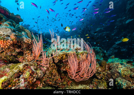 Whip Corals in Coral Reef, Ellisella ceratophyta, Tufi, Solomon Sea, Papua New Guinea - Stock Photo