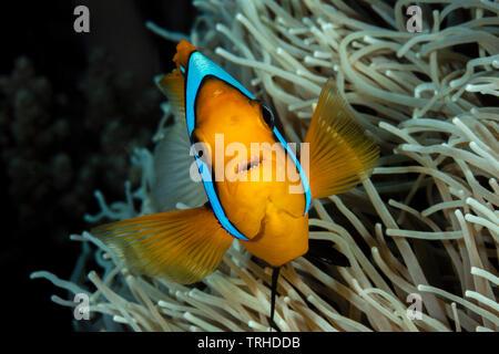 Orange-fin Anemonefish, Amphiprion chrysopterus, Tufi, Solomon Sea, Papua New Guinea - Stock Photo