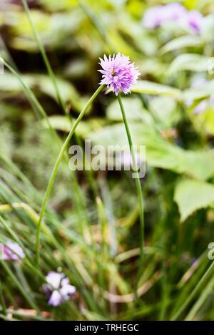 Flowering chive( allium schoenoprasum ) in a  garden  ,a long stem with pale pink flower - Stock Photo