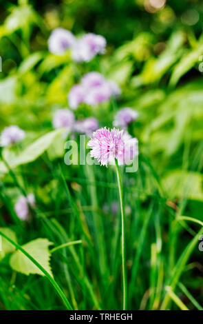 Flowering chives ( allium schoenoprasum ) in a vegetable garden  ,a long stem with pale pink flower - Stock Photo
