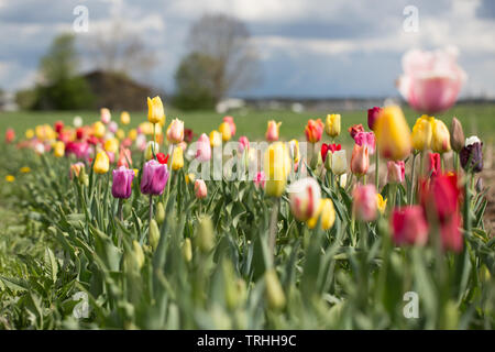 View on a tulip field. In the background trees and cloudy sky. Tulips are popular cut flowers. - Stock Photo