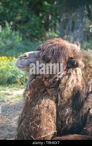 Bactrian camel (Camelus bactrianus) - Stock Photo