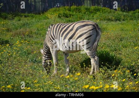 Grevy's zebra (Equus grevyi) - Stock Photo