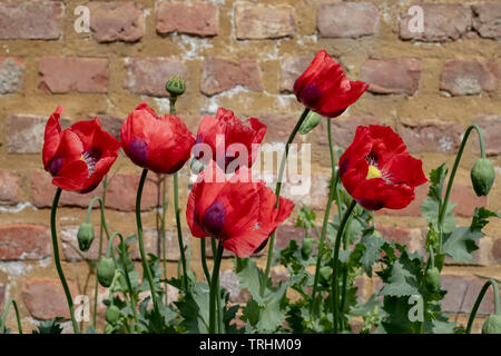 Red poppies at Eastcote House Gardens, historic walled garden maintained by a community of volunteers in the Borough of Hillingdon, London, UK - Stock Photo