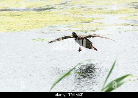 A male mallard duck (Anas platyrhynchos) coming in to land