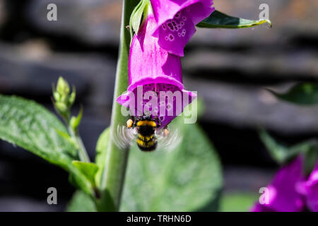 A Bumble bee with visible motion blur on the wings alighting on a common foxglove  Digitalis purpurea enabling pollination of plants - Stock Photo