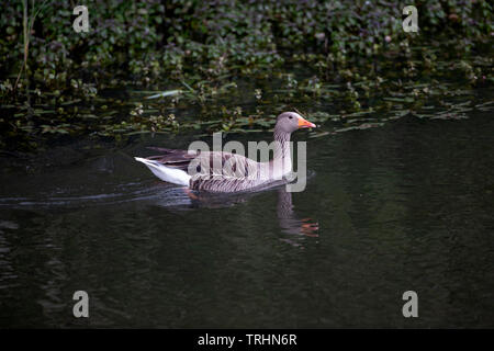 Grey Lag goose Anser anser in profile swimming on a secluded lake with partial reflection in the water and dark green foliage background - Stock Photo