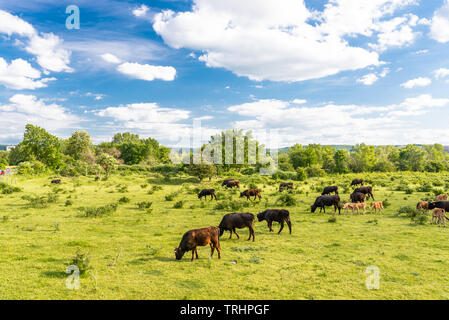 A herd of cattle Heck, grazing in a clearing on a spring sunny day in western Germany. - Stock Photo