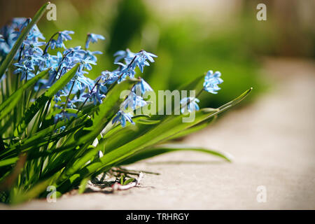 Blue delicate flowers scilla, blooming in the spring in April and illuminated by bright sunlight. - Stock Photo