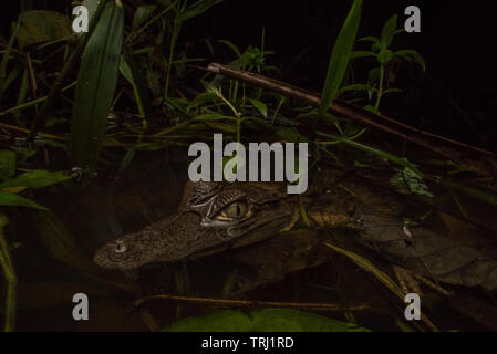 A young spectacled caiman (Caiman crocodilus) at the waters edge waiting for prey to venture close. From Yasuni national park, Ecuador. - Stock Photo