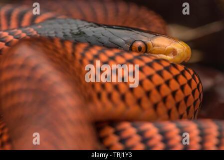 Yellow-headed Calico Snake (Oxyrhopus formosus) a beautiful snake from Ecuador's Yasuni national park in the Amazon jungle. - Stock Photo