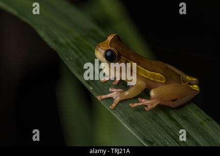 A clown treefrog (Dendropsophus leucophyllatus) calling from a blade of grass in a flooded forest in Yasuni national park, Ecuador. - Stock Photo