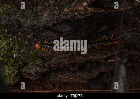 poisonous centipede Stock Photo: 8608781 - Alamy