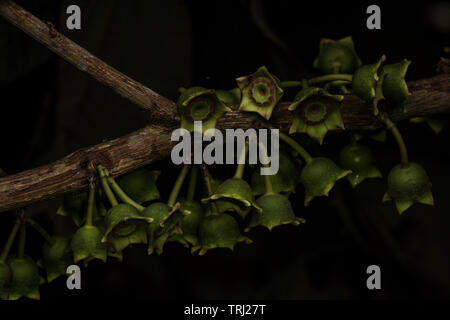 Macro photos of an unusual flowering tree from the Amazon rainforest in Ecuador. - Stock Photo