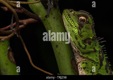 A female Amazon wood lizard (Enyalioides laticeps) from the Amazon rainforest in Yasuni national park, Ecuador. - Stock Photo