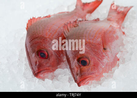 Two fresh raw Northern red snappers on ice - Stock Photo