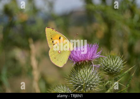 Portrait Of Yellow  Butterfly On A Purple Flower In The Mountains Of Galicia. Fence Of Valleys. Pine Forests. Meadows And Forests Of Eucalyptus In Reb - Stock Photo