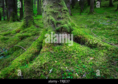 Tree trunk with roots covered with moss growing on forest floor.Beautiful scene in lush Scottish woodland.Tranquil  environment.Beauty in nature. - Stock Photo