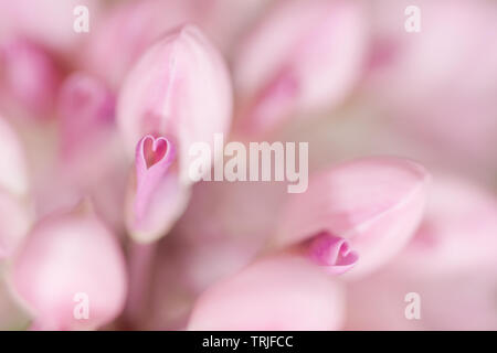 Detail of pink lupine flower, large-leaved lupine, Lupinus polyphyllus. - Stock Photo