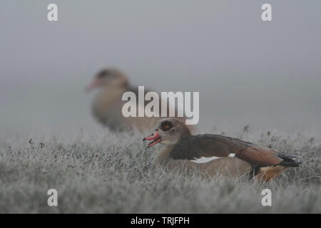 Egyptian Goose / Geese / Nilgans (Alopochen aegyptiacus), pair, couple early in the morning, foggy day, resting in a dew wet meadow, wildlife, Europe. - Stock Photo