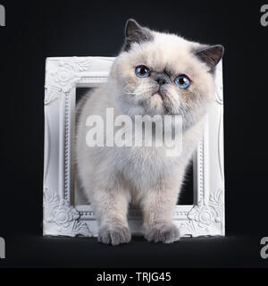 Cute blue tortie point Exotic Shorthair kitten, tapping / standing through white photo frame. Looking to the side with blue eyes. Isolated on black ba - Stock Photo