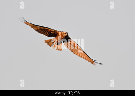 Western Marsh Harrier / Rohrweihe  ( Circus aeruginosus ), adult, female, in flight, wildlife, Netherlands, Europe. - Stock Photo
