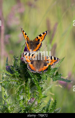 Detailed, portrait close up of a pair of Small Tortoiseshell butterflies (Aglais urticae) together in outdoor UK countryside habitat, on thistle plant. - Stock Photo