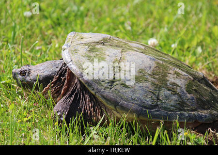Close up, side view, of a large Common Snapping Turtle laying in the grass in Trevor, Wisconsin, USA, in the spring, laying eggs - Stock Photo
