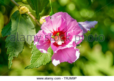 Chinese Hibiscus. Flower pink hibiscus. Chinese rose picture close up. - Stock Photo
