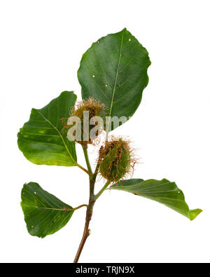 Summer foliage and developing hairy mast ofthe common beech, Fagus sylvatica, on a white background - Stock Photo