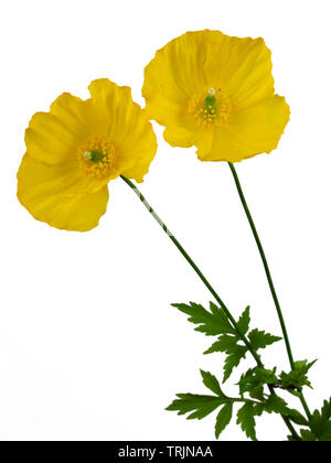 Two flowers of the cottage garden welsh poppy, Papaver cambricum, on a white background - Stock Photo