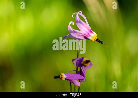 Close up of a pretty shooting star wildflower (Dodecatheon pulchellum), early June in the Rocky Mountains, south of Helena, Montana, USA - Stock Photo