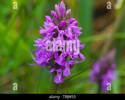 Beautiful pink purple northern marsh orchid (Dactylorhiza purpurella) in full flower - Stock Photo