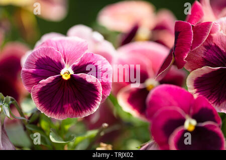 Close up of bright magenta pansy with deep purple blotch and yellow center - Stock Photo