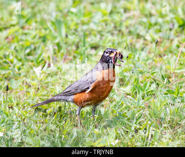 An American robin, Turdus migratorius, standing on the grass with a worm dangling from it's beak - Stock Photo