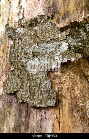 Damaged tree bark of European beech - Stock Photo