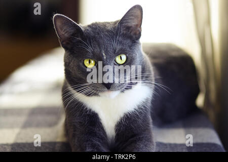A grey house cat with beautiful green eyes and a white spot on his forehead lies on a checkered plaid and looks expressively - Stock Photo