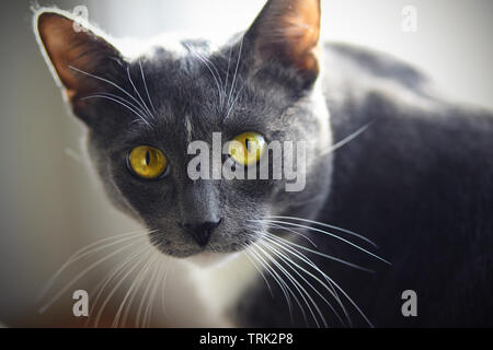 A beautiful home cat of gray color with a white spot on the forehead and yellow-green eyes looks expressively - Stock Photo