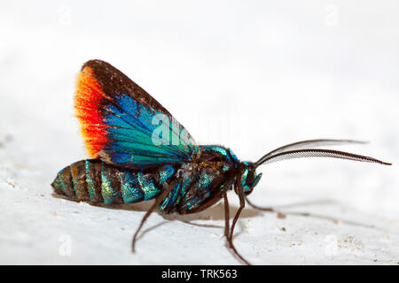 A close look at a tiger moth, Cyanopepla micans, Otavalo, Ecuador, South America. - Stock Photo