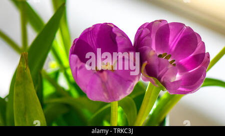 Bright purple Tulips with green stems shot in macro and indoors. Makes ideal cut flowers for display indoors. Tulip filaments in vibrant color. - Stock Photo