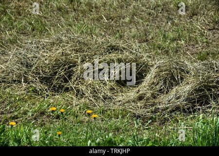 Heu, Wiese, Gras, gemäht, Futter, Futterwiese, Landwirtschaft, trocknen, Ernte, Erntezeit, Heuhaufen, Bauer, Weide, Futterweide, Grün, Gräser, Blume, - Stock Photo