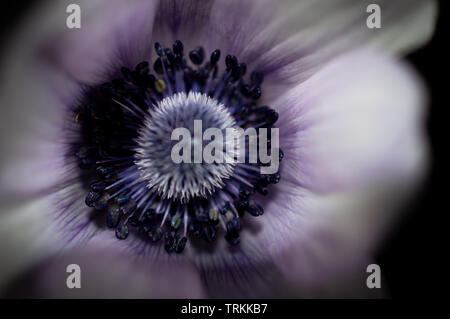 Close up or macro into the centre point of a light purple, lilac or mauve Anemone spring flower - Stock Photo