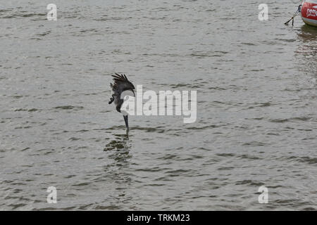Krauskopfpelikan, Pelikan, Vogel, Bird, Pelecanus crispus, Dalmatian pelican , fishing, fischt,Jungtier, cub, int the water, - Stock Photo