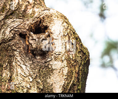 Closeup of a sleepy Screech Owl sitting in nest hole in a tree. - Stock Photo