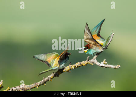 European bee-eater pair, Latin name Merops apiaster, one  with food for its partner, courtship feeding behaviour, against a green background - Stock Photo